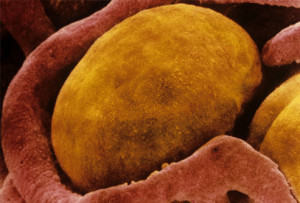 Fat Cell