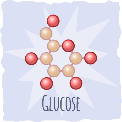 The glycolytic pathway and glycolysis.