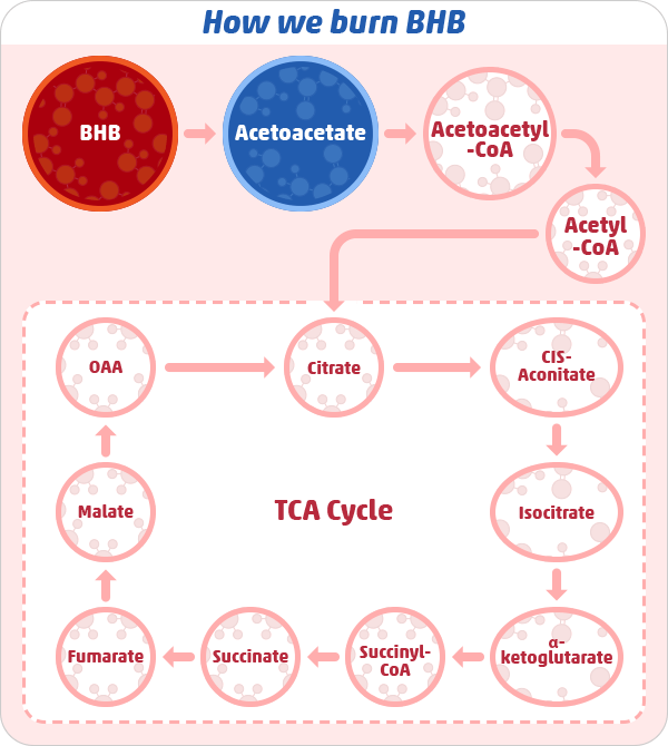 Ketolysis — Using Ketones for Fuel